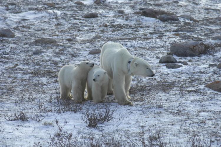 kutup ayıları küresel ısınma nedeniyle daha uzun süre aç kalıyor