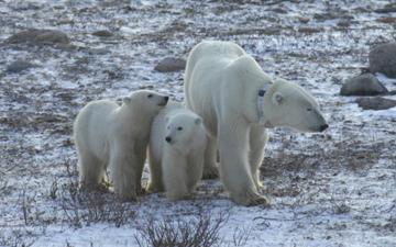 Buzulların erimesi kutup ayılarının uzun süre aç kalmasına neden oluyor