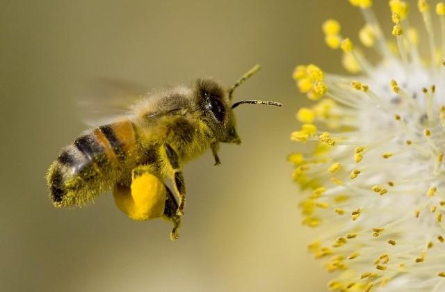 polen tAŞIYAN ARI